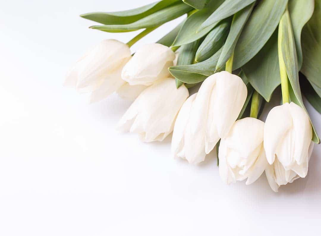 Bunch of white tulips on white background