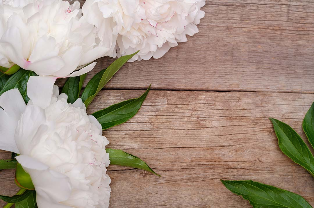 White peony flower on wooden background