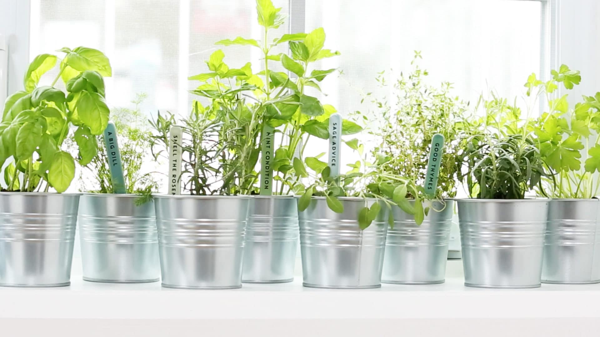 Potted Fresh Herbs on Window Sill